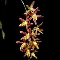 Baptistonia_echinata_x_Macradenia_multiflora_1108-2