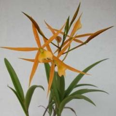 Brassoepidendrum_Kan_Yuet_Him_2