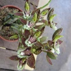 Catasetum_tenebrosum_X_barbatum_2