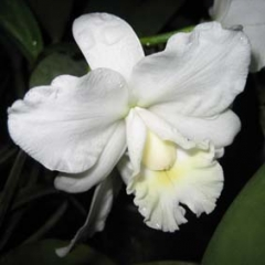 Cattleya_Hawaii_Wedding_Song