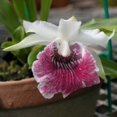 Cochleanthes Amazing