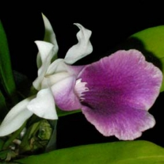 Cochleanthes Moliere