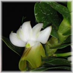D ellipsophyllum Green