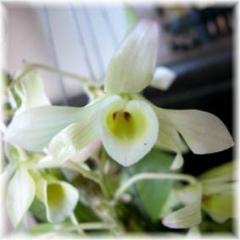 D friendericksianum alba