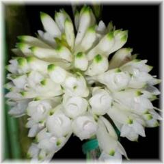 D purpureum alba