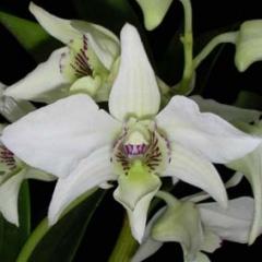 Dendrobium Bill Takamatsu