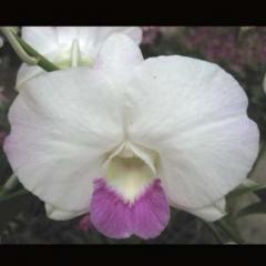 Dendrobium Burana Pearl WR