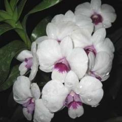 Dendrobium Chao Paraya Smile