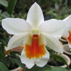 Dendrobium Dawn Maree
