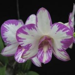 Dendrobium Enobi Purple