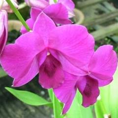 Dendrobium Genting Rose
