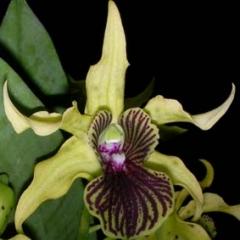 Dendrobium Green Wonder