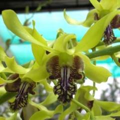 Dendrobium Helen Gray