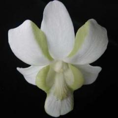 Dendrobium Liberty White
