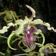 Dendrobium Love Knot