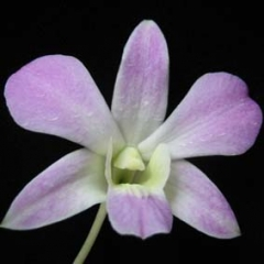 Dendrobium Lusian Pink