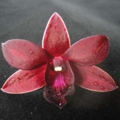 Dendrobium Negro