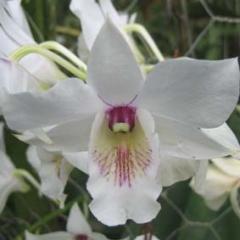 Dendrobium Nong Alsagoff