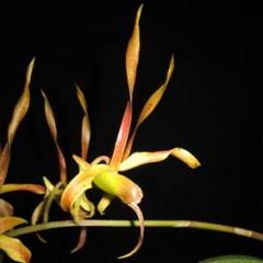 Dendrobium Oriental Star x sutiknoii