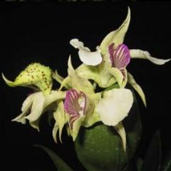 Dendrobium Pam Tajima