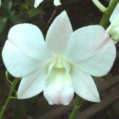 Dendrobium Princess White