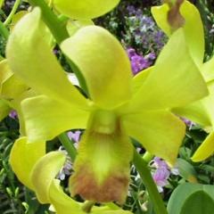 Dendrobium SGH