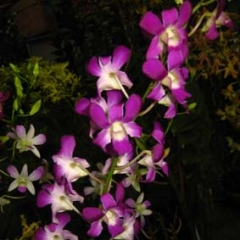Dendrobium Temasek Princess