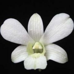 Dendrobium White Angle