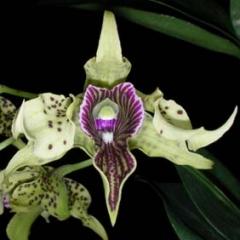 Dendrobium Wonder Nishii