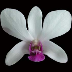 Dendrobium Woon Leng
