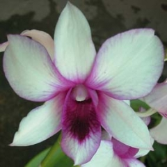 Dendrobium Young Beauty