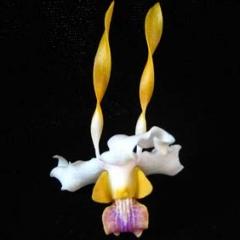 Dendrobium antennatum x tangerinum