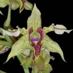 Dendrobium atroviolaceum x polysema