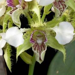 Dendrobium eximium x polysema