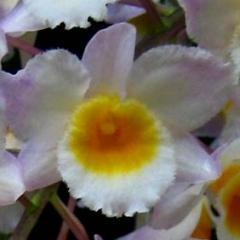 Dendrobium farmeri x amabile