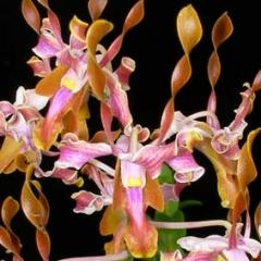 Dendrobium laisanthera x strepsiceros