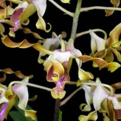 Dendrobium laisanthera yellow x discolor alba