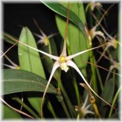 Diplocaulobium arachnoideum