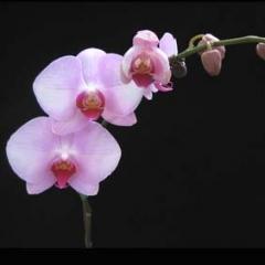 Doritaenopsis Luchia Pink