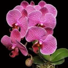 Doritaenopsis Meidar Prince