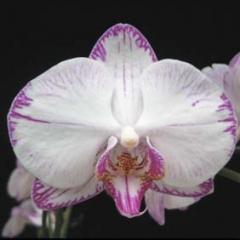 Doritaenopsis Minho Princess