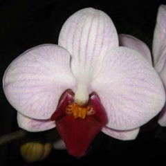 Doritaenopsis Sogo Little Gem Stripe