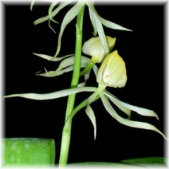 Encyclia cochleata alba