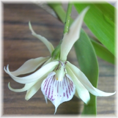 Encyclia_fragrans_1