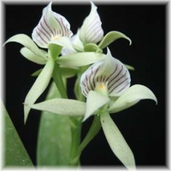 Encyclia_fragrans_2