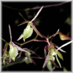 Epidendrum diffusum