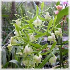 Epidendrum_paniculatum_Hybrid_2