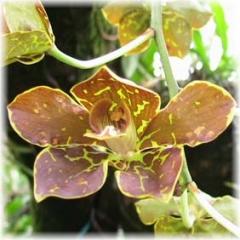 Grammatophyllum martae