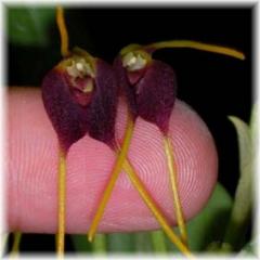 Masdevallia bicolor