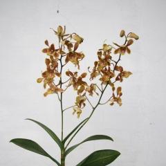 Dendrobium Jackie Chee Jart Hoon